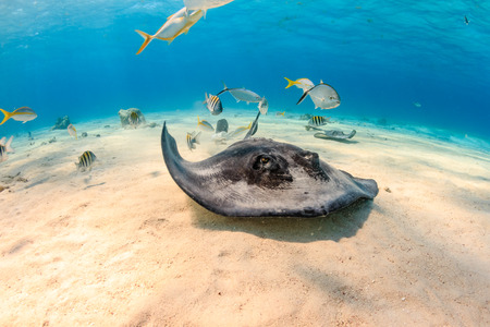 stingrays: Southern Stingray and Tropical Fish Swimming Along the Sea Floor
