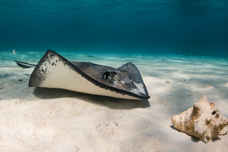 stingrays: Southern Stingray swimming over the sand