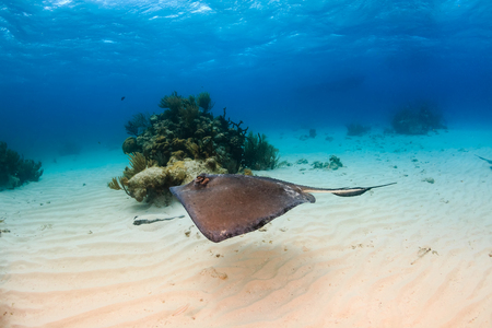 stingrays: Stingray swimming over a shallow sandy seabed