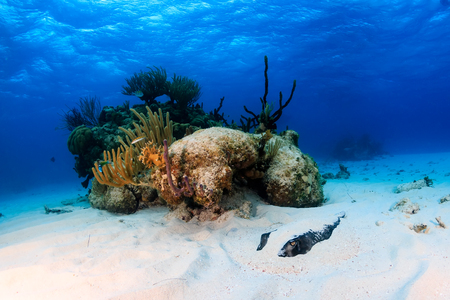 stingrays: Southern Stingray buried in sand on a shallow, tropical lagoon