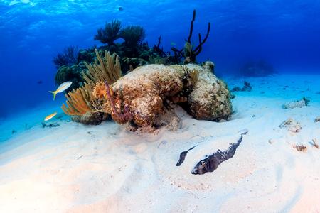 stingrays: Stingray buried in sand Stock Photo
