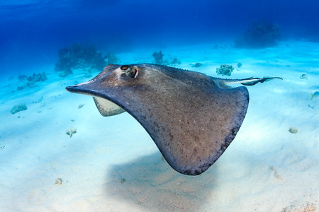 Stingray over a sandy lagoon 写真素材