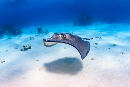 Stingray over shallow sand Stock Photo