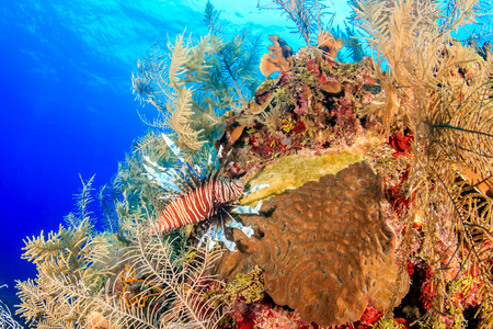 volitans: Lionfish on a tropical coral reef