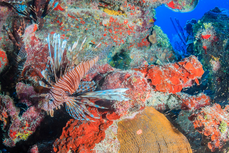 volitans: Colorful Lionfish on a tropical coral reef Stock Photo
