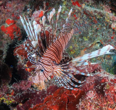 Colorful Lionfish on a tropical coral reef Stock Photo
