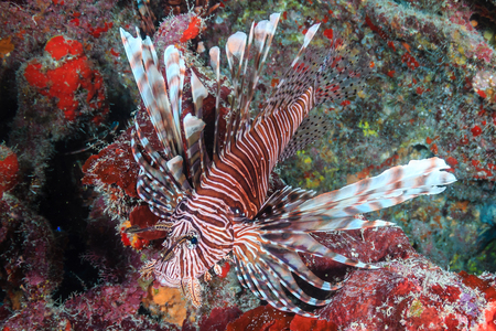 Lionfish on a tropical coral reef