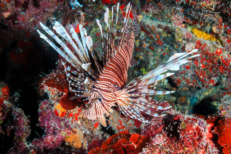 Invasive Lionfish on a tropical Caribbean coral reef Stock Photo - 75807656
