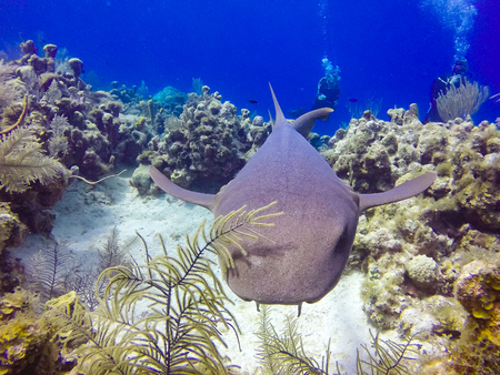 Nurse shark and SCUBA divers