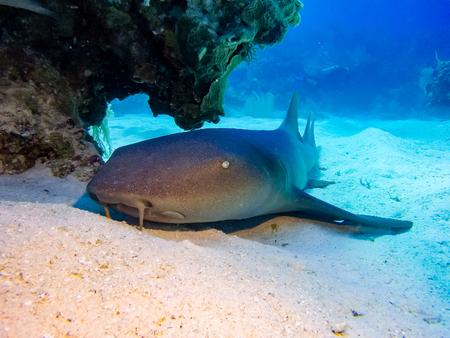 Nurse shark resting on the sea floor Stock Photo