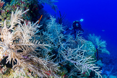 SCUBA diver exploring a deep, coral wall in clear water