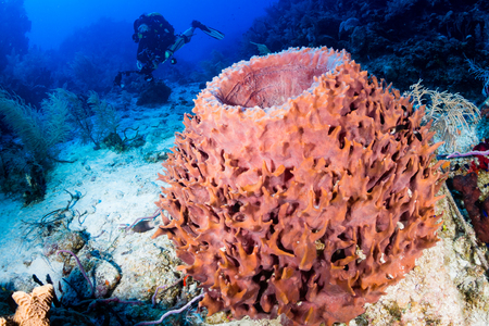 Closed circuit rebreather diver next to a giant sponge on a deep, coral reef Stock Photo
