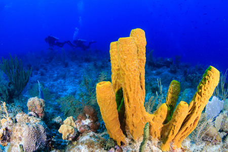 SCUBA divers swim near a large, colorful sponge on a tropical coral reef Stok Fotoğraf