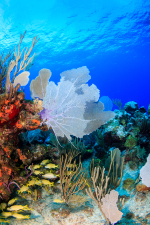 A shoal of French Grunt on a tropical coral reef