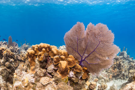 seafan: Sea fans on a colorful, tropical coral reef