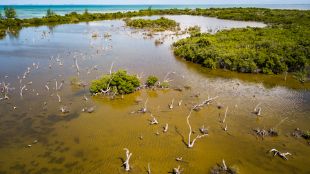 cayman islands: Petrified trees in a coastal mangrove forest in a tropical location