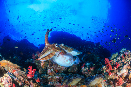 A pair of Pharaoh Cuttlefish on a healthy tropical coral reef at dawn