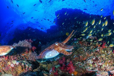 Pharaoh Cuttlefish on a beautiful, healthy tropical coral reef