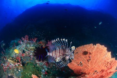 Lionfish on a tropical coral reef at dawn