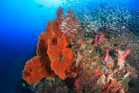 Grote seafans en tropische vissen op een gezond koraalrif