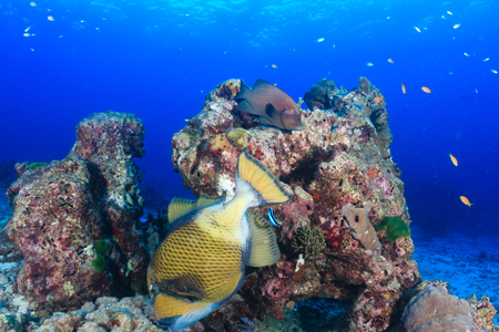 Titan Triggerfish on a coral reef Stock Photo