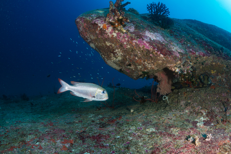 Snapper on a coral reef