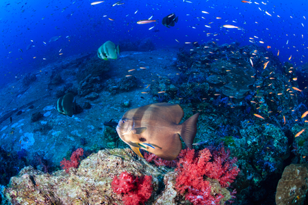 Batfish on a coral reef Stock Photo