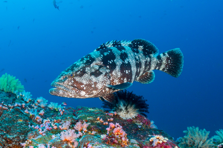A large Marbled Grouper on a deep tropical coral reef