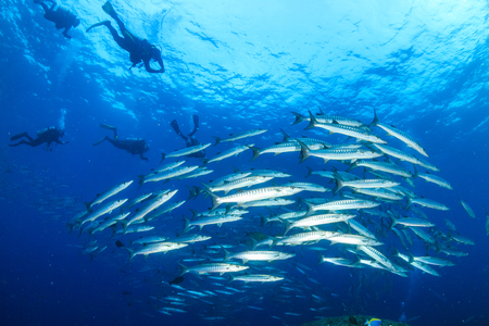 Barracuda and SCUBA divers on a coral reef