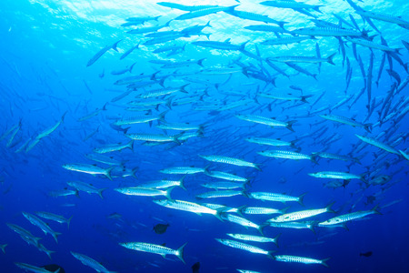 Swirling school of Barracuda on a tropical reef Stock Photo
