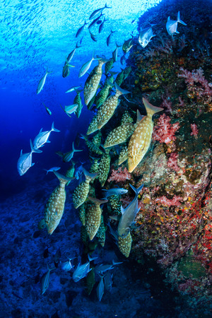Emperor and Trevally hunting on a tropical coral reef