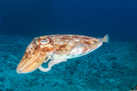 Cuttlefish underwater Banco de Imagens