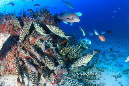 A hungry shoal of Trevally and Emperor hunting glassfish on a healthy tropical coral reef