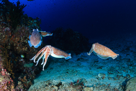 A family of Cuttlefish on a coral reef