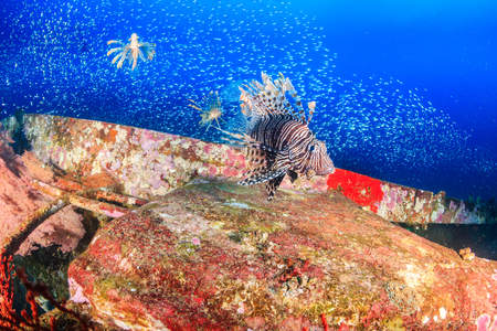 Lionfish and Glassfish on an underwater shipwreck
