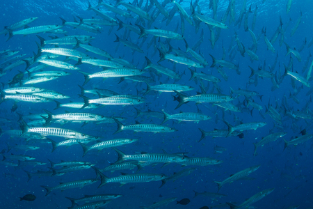 School of Barracuda on a coral reef Stock Photo