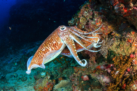 Mating Cuttlefish at sunrise on a deep, tropical coral reef Stok Fotoğraf - 95107628