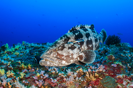 A large grouper on a coral reef