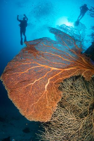 SCUBA divers next to a large sea fan