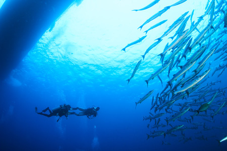 SCUBA divers and a school of Barracuda Stock Photo