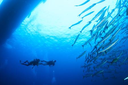 SCUBA divers and a school of Barracuda Stockfoto