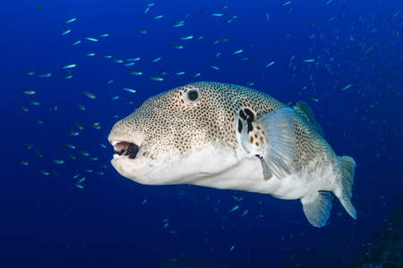Large Pufferfish on a coral reef