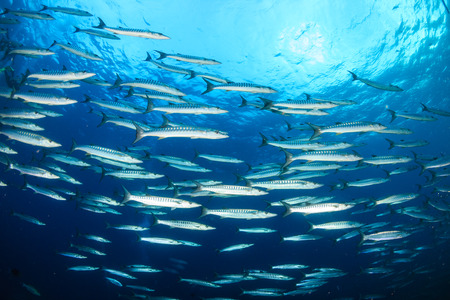 école de barracuda sur un récif de corail tropical