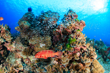 Coral grouper and tropical fish on a healthy coral reef