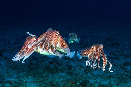 Several Cuttlefish mating at dawn