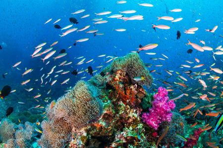 Colorful tropical fish on a healthy , thriving tropical coral reef