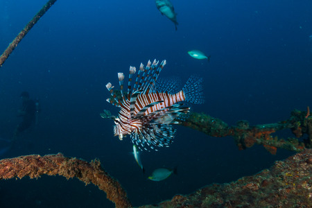 Lionfish on an underwater shipwreck in a tropical ocean Stock Photo
