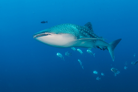 A large Whale Shark with accompanying Cobia and Remora swim over a tropical coral reef Stock Photo