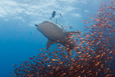 A large Whale Shark with accompanying Cobia and Remora swim over a tropical coral reef