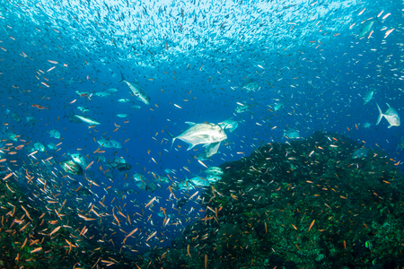 Trevally hunting at sunset on a healthy tropical coral reef in Thailand